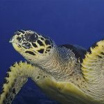 cropped-southern-dreams-diving-club-turtle1.jpg