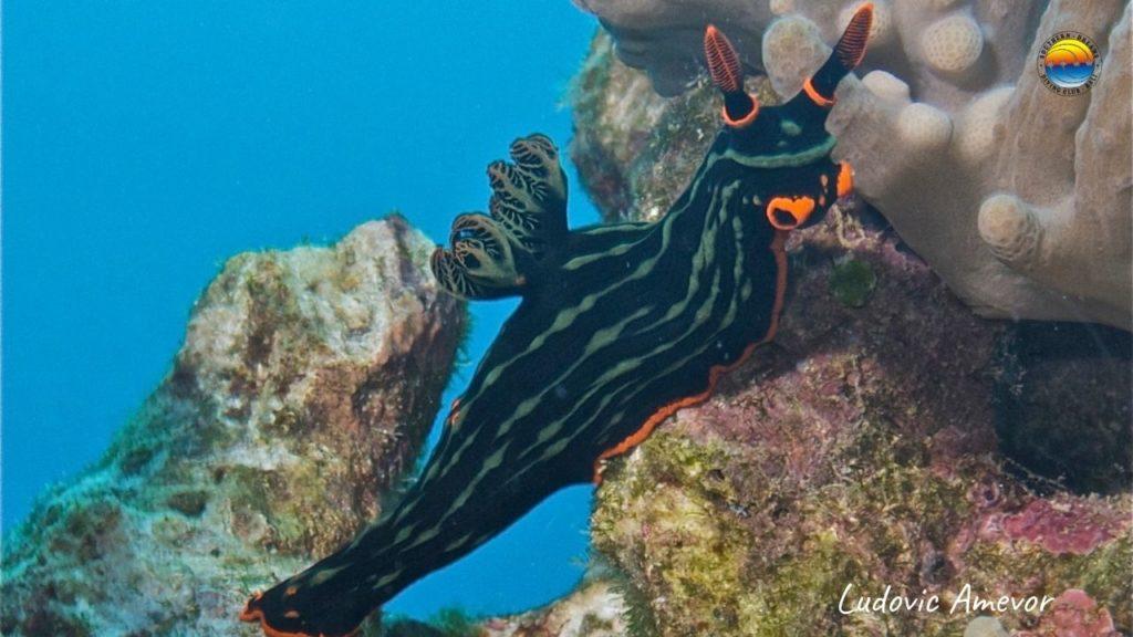 bali-nudibranches
