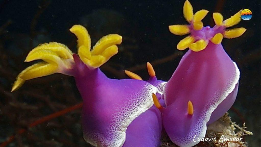 nudibranches-doriens